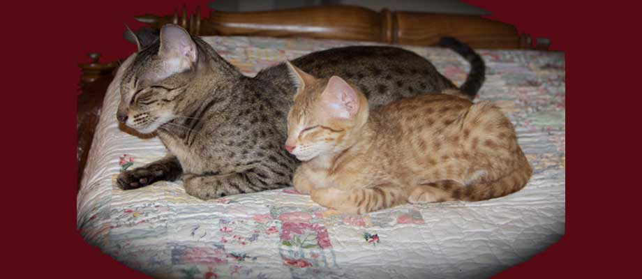 Savannah Cat Resources