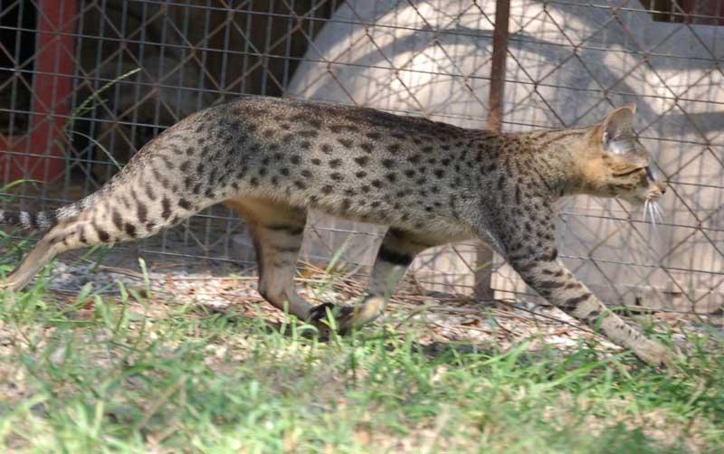 Savannah Cat Zuri | F4 SBT Savannah Cat | A1 Savannahs Zuri