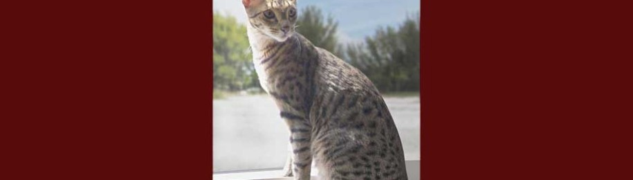 Our Savannah Cats Image