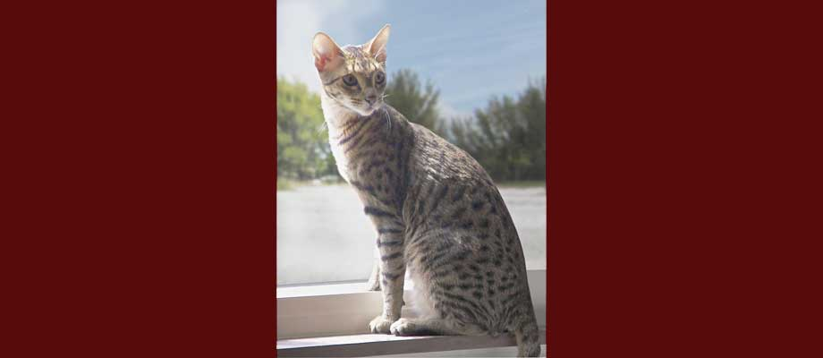 Our Savannah Cats