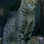 Savannah Cat Zuri - Long Legs - Great Earset