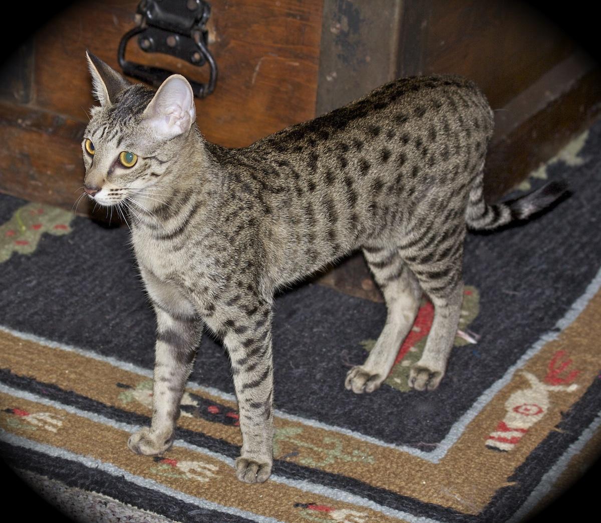 Savannah Cat Breeder Savannah Kittens for Sale