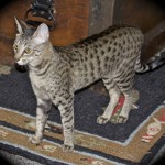 Zuri - F4 SBT Savannah Cat