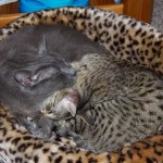 Savannah Cat Zuri and Cisco