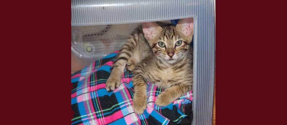 Savannah Kitten Perseus