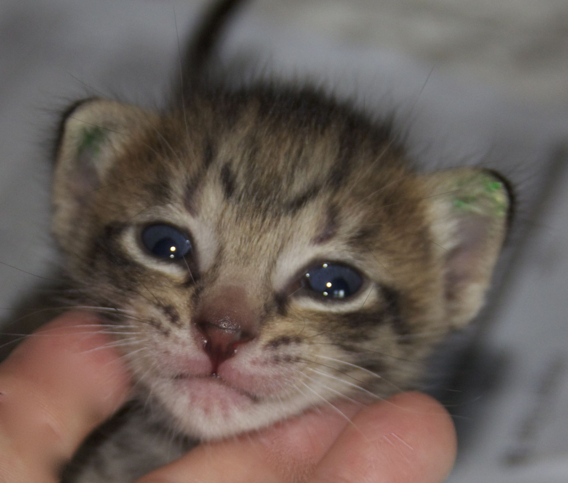 Savannah Cat Professional Pictures