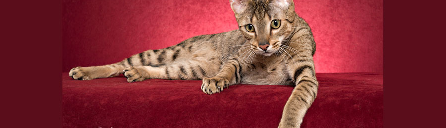Savannah Kitten and New Home Image
