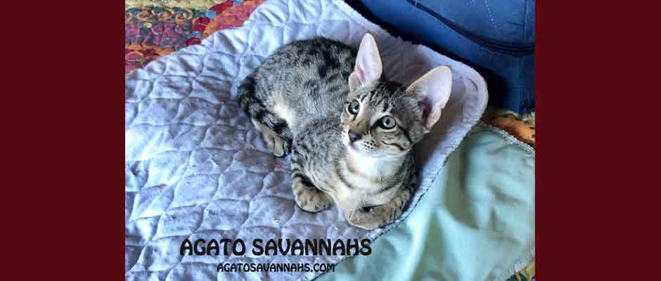 Agato Savannahs Sedona – F6 SBT Female